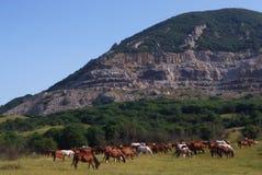 Arabian herd on pasture Royalty Free Stock Photography