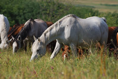 Arabian herd on pasture Royalty Free Stock Image