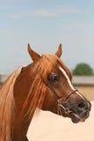 Arabian horse. Portrait royalty free stock photo