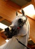 Arabian horse. Portrait Stock Photo