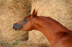 Arabian horse. Portrait Royalty Free Stock Photos