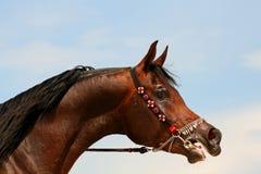 Arabian horse. Portrait Royalty Free Stock Image