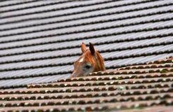 Arabian horse. Head between roofs stock image