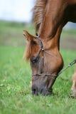 Arabian horse. Portrait Royalty Free Stock Images