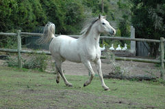 Arabian horse. An active Arabian wild white horse is running and galloping on the paddock of the farm Royalty Free Stock Photos