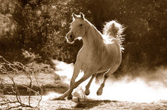Free Arabian Horse Royalty Free Stock Photo - 1198975