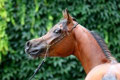 Arabian horse. The Young Arabian horse portrait royalty free stock photography