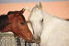 Arabian horse. A white and brown arabian horse stock photo