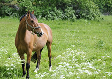 Arabian horse. On grass meadow Stock Images