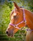 Arabian Horse. Close up of the face of an Arabian Horse Stock Photos