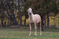 Arabian horse Stock Images