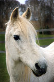 Arabian Horse. Portrait royalty free stock photography