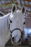 Arabian Horse. Head shot of white Arabian horse Royalty Free Stock Photos