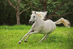 Arabian Horse. This image shows a arabian horse in action stock image