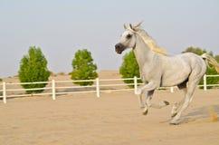 Arabian Horse Royalty Free Stock Photo
