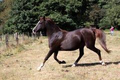 Arabian horse Stock Photography