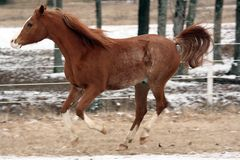 Arabian Horse. Galloping in the snow Royalty Free Stock Photography