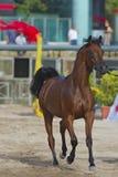 Arabian horse Royalty Free Stock Photos