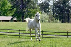 Arabian Horse. Running in pasture Stock Image