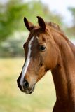 Arabian Horse. Head Closeup Shot Stock Photo