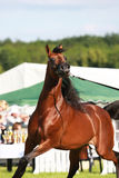 Arabian horse. Brown beautibul arabian horse portrait Royalty Free Stock Images