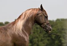 Arabian horse. Profile of brown Arabian horse Stock Photo