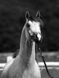 Arabian horse. Beautiful Arabian horse with white markings on face royalty free stock photos