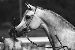 Arabian horse. Beautiful Arabian horse in black and white Royalty Free Stock Photos