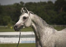 Arabian horse. Beautiful young white Arabian horse royalty free stock photos