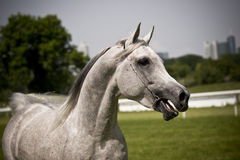 Arabian horse. Beautiful young white Arabian horse royalty free stock photography