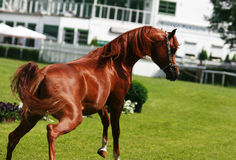 Arabian horse. Beautiful red Arabian horse in free mowement stock photography