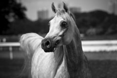 Arabian horse. Beautiful young white Arabian horse royalty free stock images