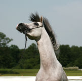 Arabian horse. Beautiful wild white Arabian horse stock photos