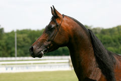 Arabian horse. Beautiful brown Arabian horse with white markings on face Stock Photo