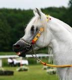 Arabian horse. Beautiful young white Arabian horse royalty free stock image