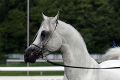 Arabian horse. Beautiful young white Arabian horse stock photography