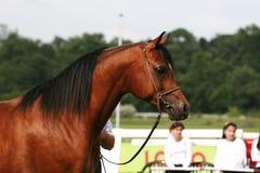 Arabian horse. Beautiful young white Arabian horse Stock Image