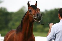 Arabian horse. Beautiful young chestnut Arabian horse Royalty Free Stock Photography