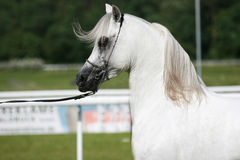 Arabian horse. Beautiful young white Arabian horse stock photo