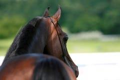 Arabian horse. Beautiful chestnut Arabian horse from behind stock photos