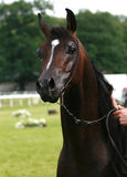 Arabian horse. Beautiful chestnut Arabian horse from behind stock image