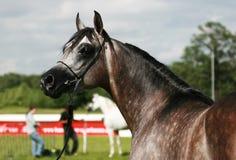 Arabian horse. Beautiful young grey Arabian horse Royalty Free Stock Image