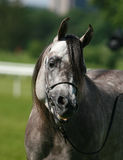 Arabian horse. Beautiful young grey Arabian horse Royalty Free Stock Images