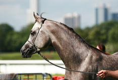 Arabian horse. Beautiful young grey Arabian horse Royalty Free Stock Photos