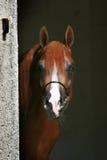Arabian horse. Beautiful mature red Arabian horse Royalty Free Stock Photography