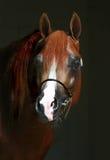 Arabian horse. Beautiful mature red Arabian horse Stock Photography