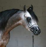 Arabian horse. Beautiful young grey Arabian horse Stock Photos