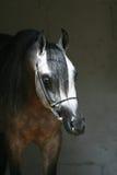Arabian horse. Beautiful mature grey Arabian horse Royalty Free Stock Photography