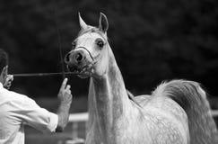 Arabian horse. Beautiful mature grey Arabian horse Stock Image