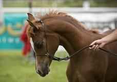 Arabian horse. Beautiful young red Arabian colt Stock Photography